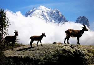 Rock Goats (Capra ibex). Aiguilles Rouges natural park. Massif of Mont-Blanc. French Alps