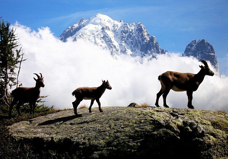 Rock Goats (Capra ibex). Aiguilles Rouges natural park. Massif of Mont-Blanc. French Alps