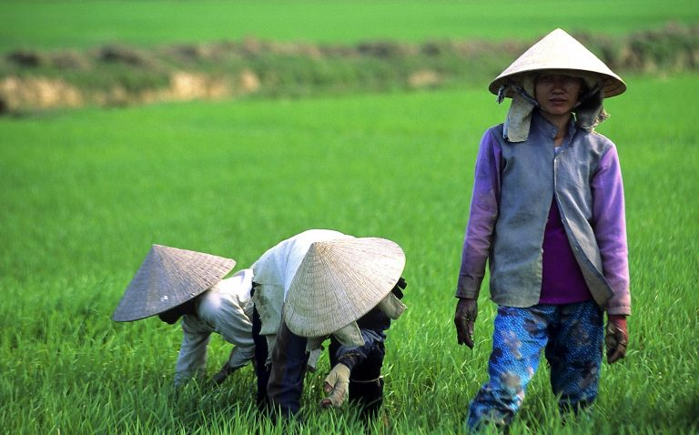 Rice field. Mekong delta. Vietnam