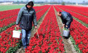 Farmers pick up toulipans.Keukenhof.Lisse.Holland